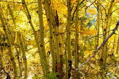 aspen autumn yellow - stock photo