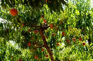 Stock Photo of peaches on a tree