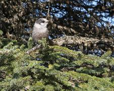 Alaskan Grey Jay on spruce Stock Photos