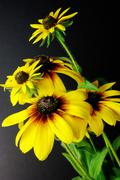 Yellow daisies (black-eyed susan) Stock Photos