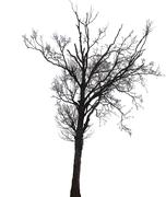 Silhouette of a birch tree in winter Stock Photos