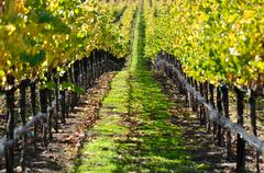 vineyard in autumn fall - stock photo