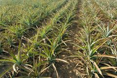 Pineapple agriculture Stock Photos
