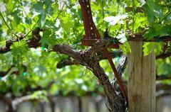grapevine in spring - stock photo