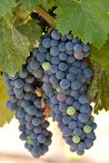 Stock Photo of red grapes on the vine in napa valley california