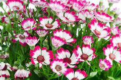 Kauniita vaaleanpunaisia kukkia ja vihreä ruoho Kuvituskuvat