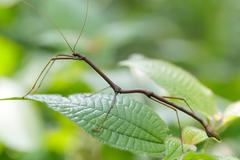 tropical stick insect - stock photo