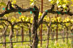 Stock Photo of spring vineyard in napa california