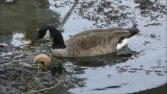 Canadian Goose forages seaweed water Stock Footage