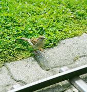 A friendly song thrush feeding. Stock Photos