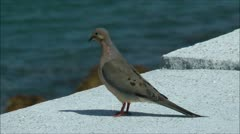 Stock Video Footage of Mourning Dove perched on harbor seawall