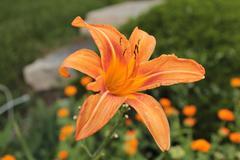 Orange Lily - stock photo
