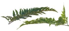 Stock Photo of fern leafs