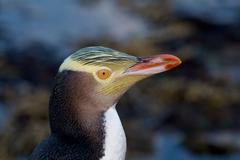 Yellow-Eyed penguin Stock Photos