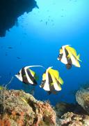 Three tropical fish and coral reef - stock photo