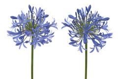 agapanthus blooms - stock photo