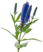 veronica flowering spikes - stock photo