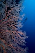 SCUBA Diver and sea fan - stock photo