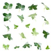 Green ivy leaves Stock Photos
