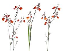Orange marsh gladiolus Stock Photos