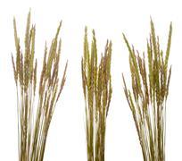Beach grass (ammophila arenaria) Stock Photos