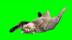 Too funny satisfied cat Stock Footage