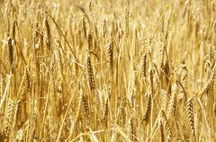 ripe barley - stock photo