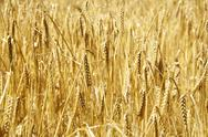 Stock Photo of ripe barley