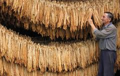 Farmer drying Tobacco - stock photo