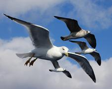 Stock Photo of Seagull