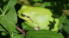 European tree frog - Hyla arborea Stock Footage