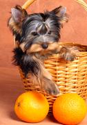Yorkshire terrier puppy in a basket Stock Photos