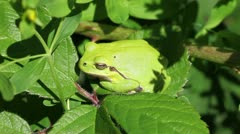 European tree frog - Hyla arborea - detail Stock Footage