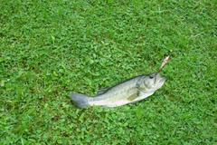 Bass In Grass Caught With Fishing Lure - stock photo