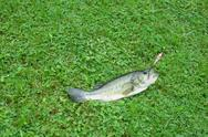 Bass In Grass Caught With Fishing Lure Stock Photos