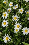 Stock Photo of natual daisies