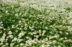 Stock Photo of field of daisies