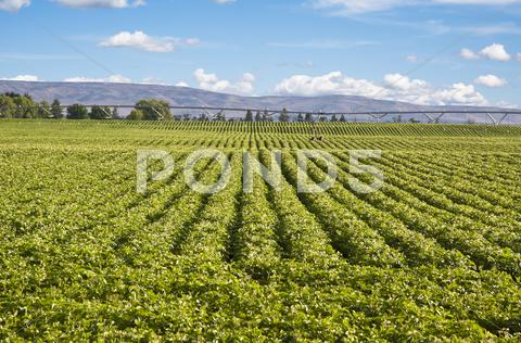 Stock photo of potato field