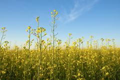Rapeseed field Stock Photos