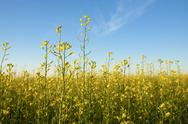 Stock Photo of rapeseed field