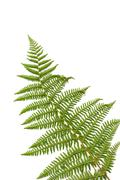 Stock Photo of fern leaf