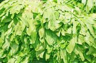 Sawtooth coriander - eryngium foetidum background Stock Photos
