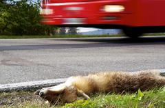 dead fox - stock photo