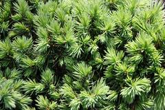 "Close-up of a common spruce Picea abies f. ""Little Gem"" in the garden - stock photo"