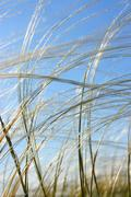 Feather grass in wind against a blue sky Stock Photos