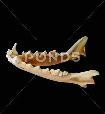Stock photo of Isolated red fox (Vulpes vulpes) lower jaw on a black background