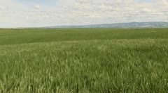 Blowing Wheat Mountains Stock Footage