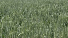Wheat close Stock Footage