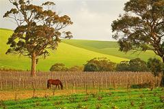 Australian Vineyard with Horse Stock Photos