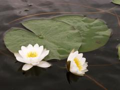 Close-up of a white water lily (Nymphaea alba) - stock photo